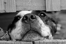 Extreta d'https://pixabay.com/es/perro-lindo-mascota-715545/