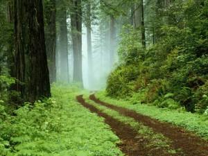 Un camí forestal al parc regional de Redwoods, Califòrnia.